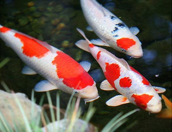 Phụ nữ mơ thấy cá báo hiệu sắp thụ thai