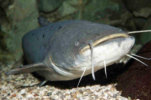 Mơ thấy cá trê thường không tốt, hạn chế tài lộc kinh doanh