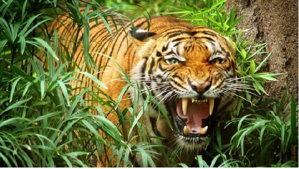 Chiêm bao thấy con hổ đang la hét với mình
