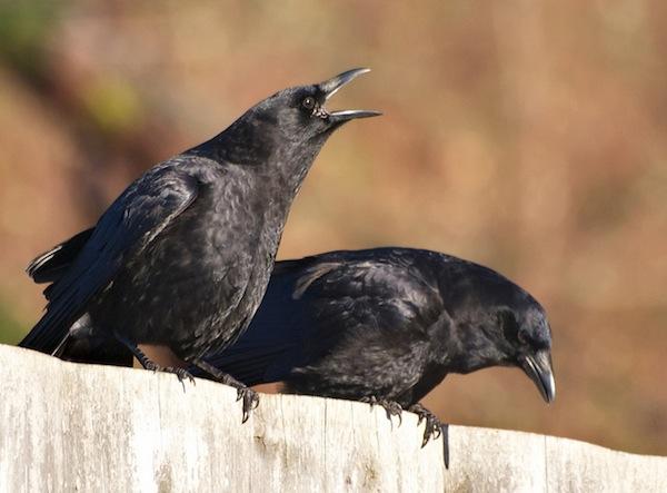 Ngủ mơ thấy quạ là điềm lành hay dữ?