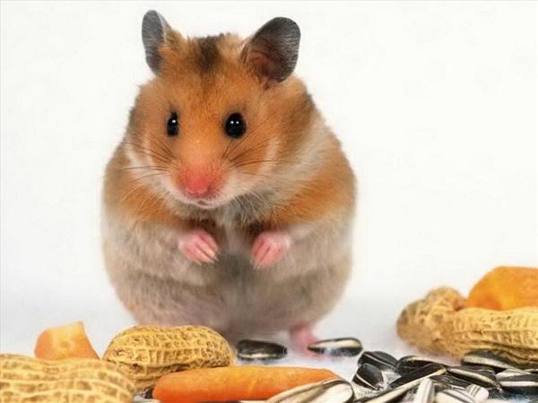 Mơ thấy con chuột gặm là điềm lành hay dữ/