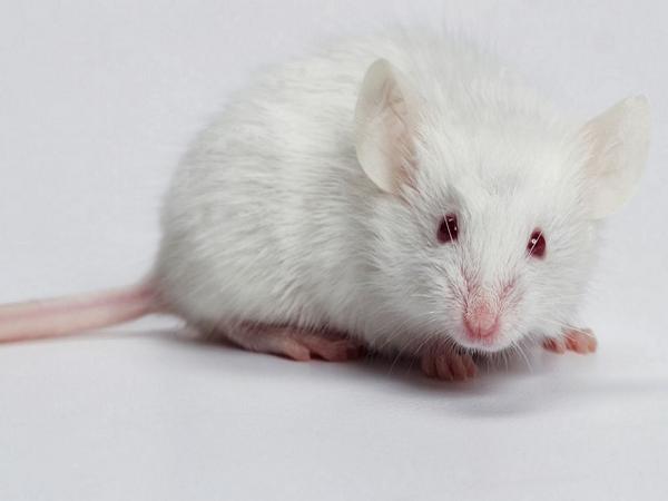 Mơ thấy con chuột là điềm báo gì?