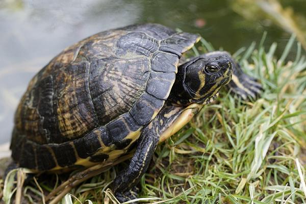 Mơ thấy con rùa là điềm báo may mắn hay xui xẻo?