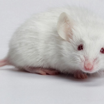 Ngủ mơ thấy con chuột là điềm báo gì?