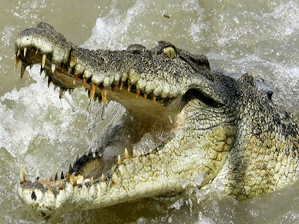 Mơ thấy cá sấu báo mộng trước điềm gì?